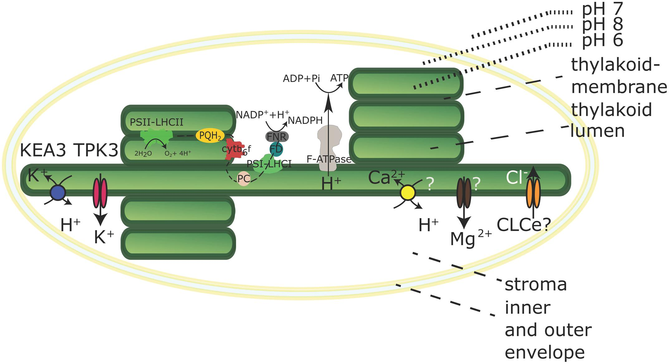 Frontiers proton gradients and proton dependent transport frontiersin ccuart Gallery