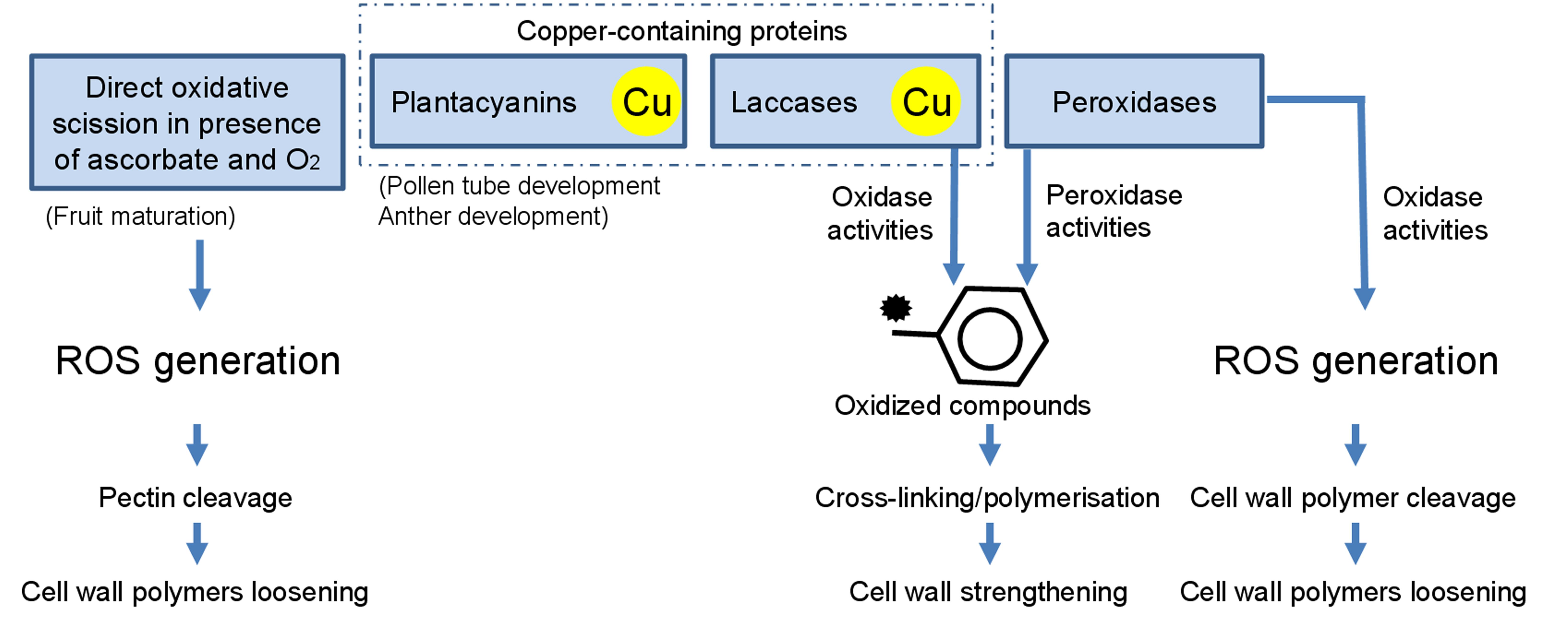 Frontiers copper trafficking in plants and its implication on cell frontiersin ccuart Image collections