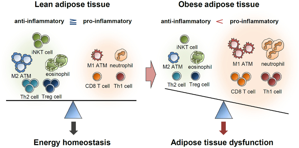 Frontiers | Adipose Tissue Remodeling: Its Role in Energy ...
