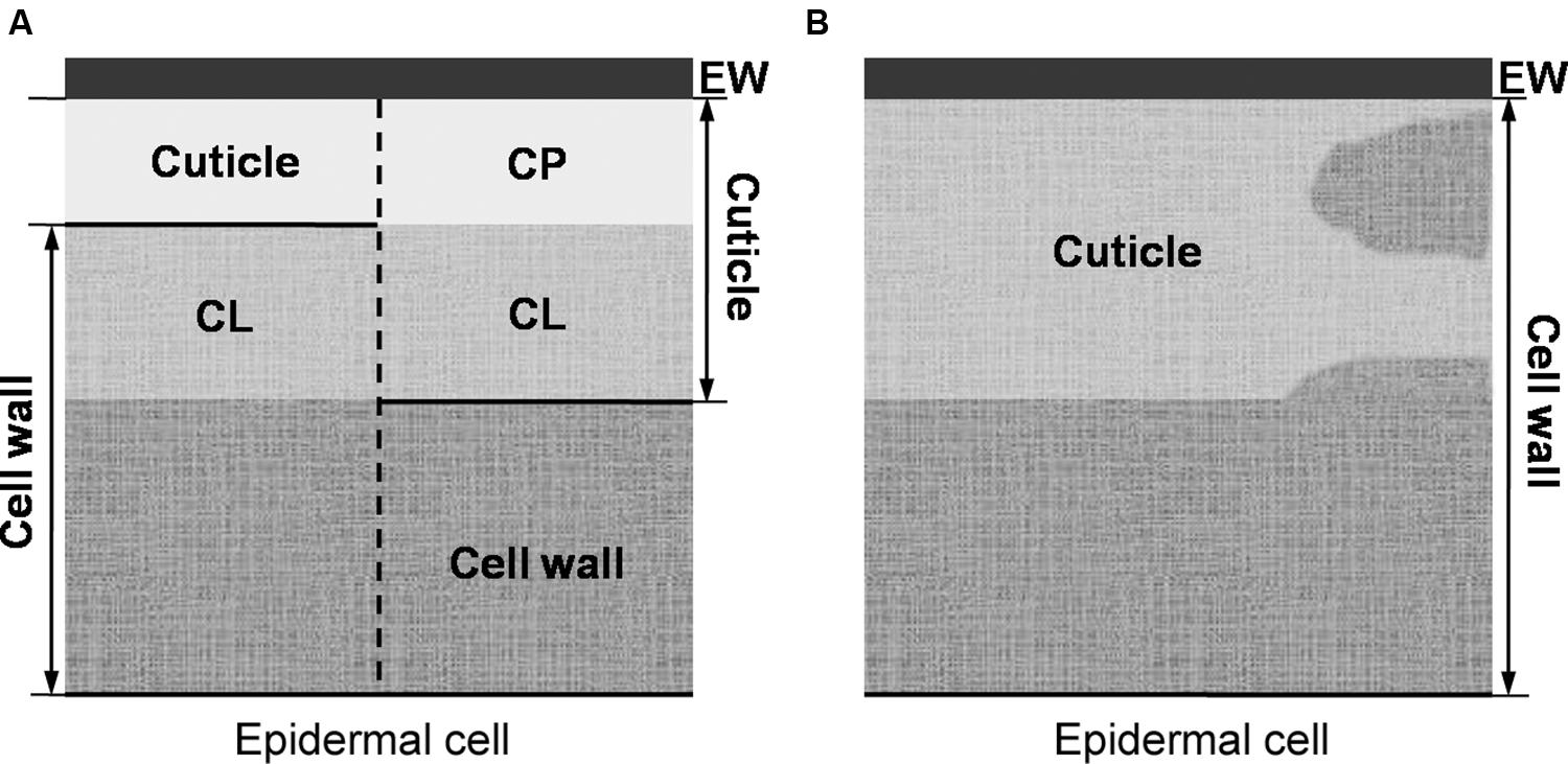 Frontiers Cuticle Structure In Relation To Chemical Composition Plant Cell Membrane Diagram Labeled Bird Labelling Of An