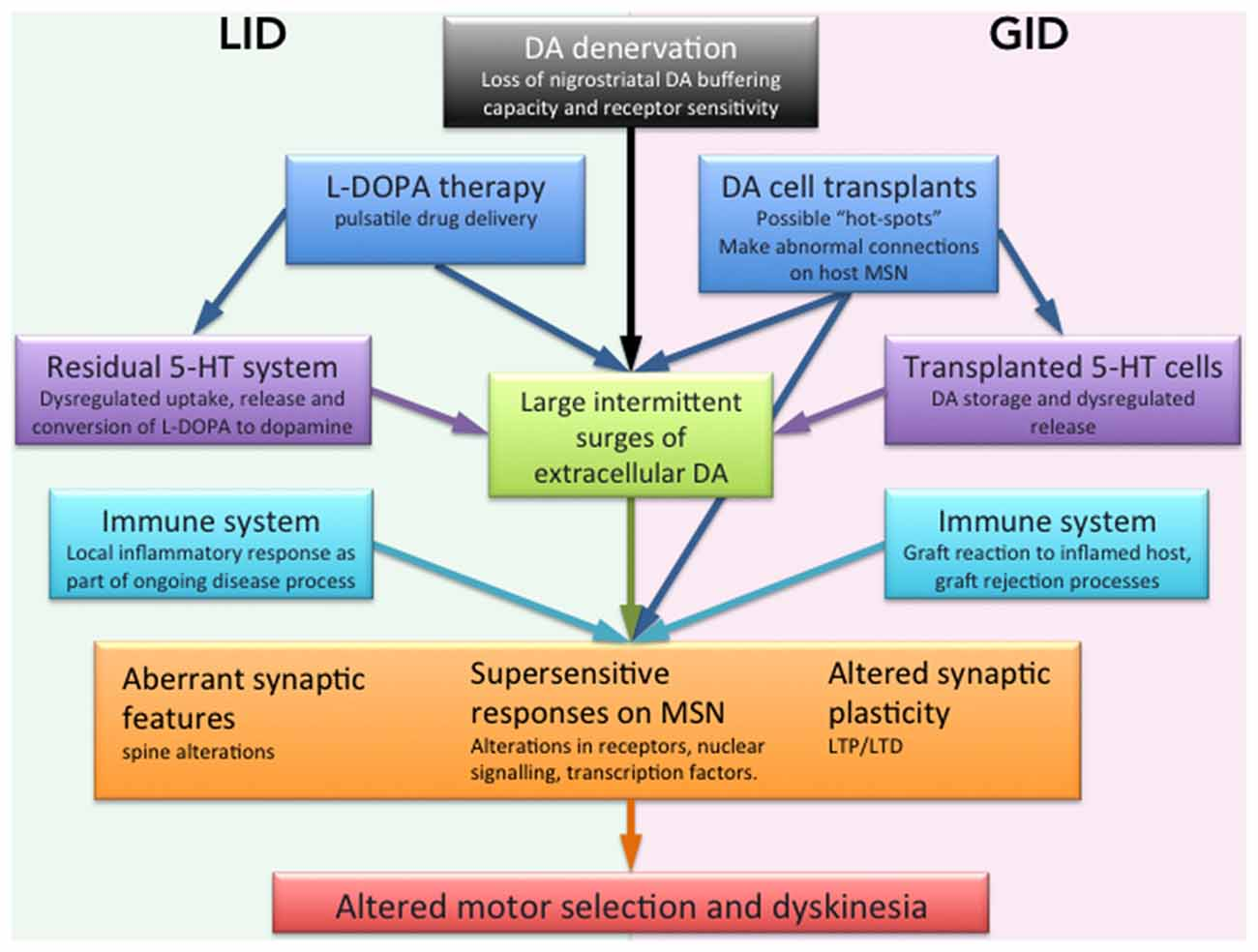 Frontiers Striatal Plasticity In L Dopa And Graft Induced Wk Hemi Engine Compartment Diagram