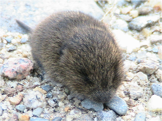 Figure 2 - The meadow vole (shown here) and the closely related prairie vole (not shown) have been studied to learn more about social behavior in humans.