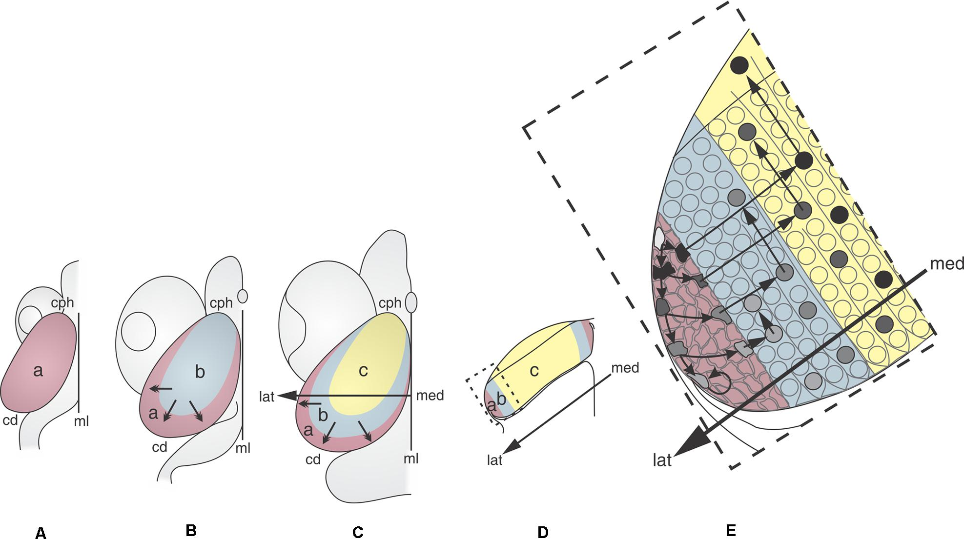 Frontiers | Morphogenetic and Histogenetic Roles of the Temporal