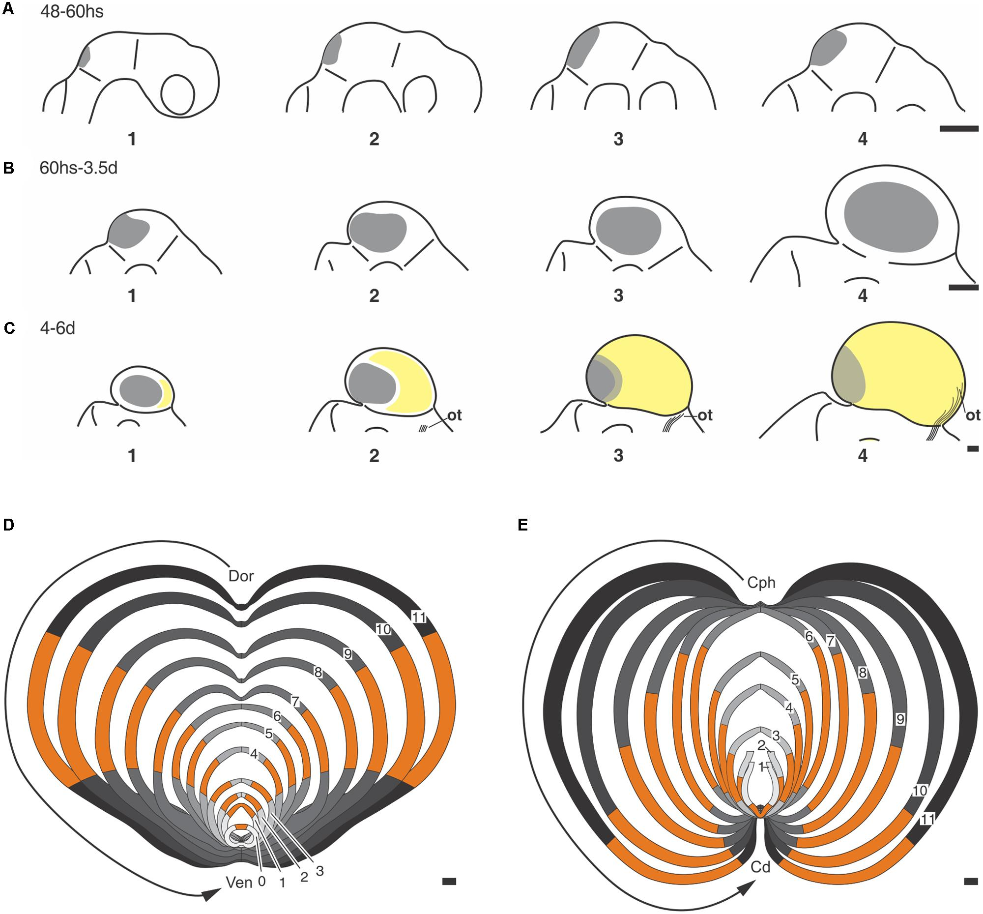 Frontiers | Morphogenetic and Histogenetic Roles of the