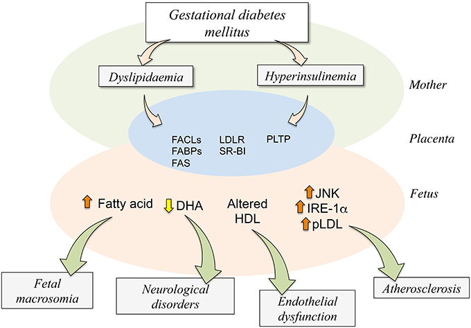 Frontiers   Insulin Is a Key Modulator of Fetoplacental ...