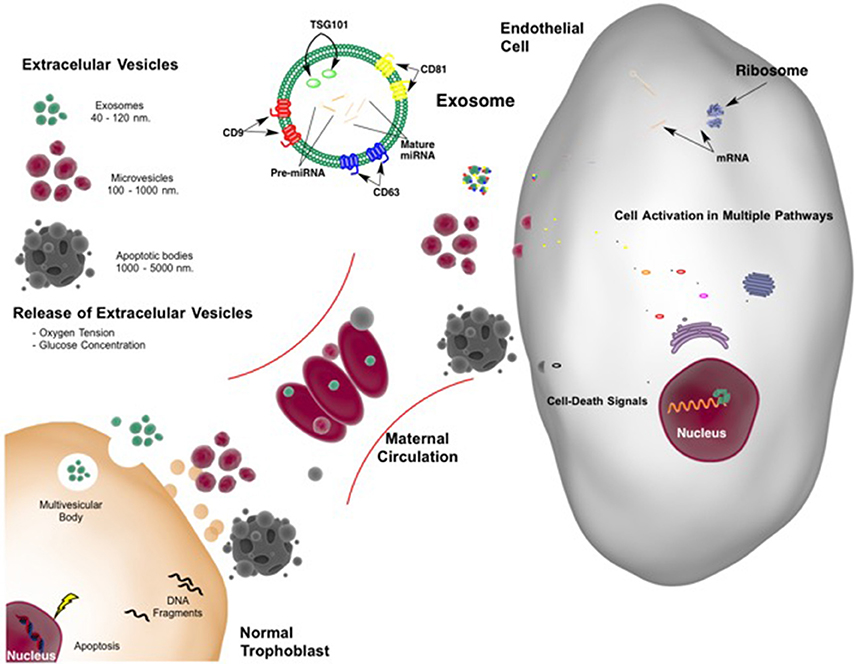 Frontiers   Role of Extracellular Vesicles and microRNAs on