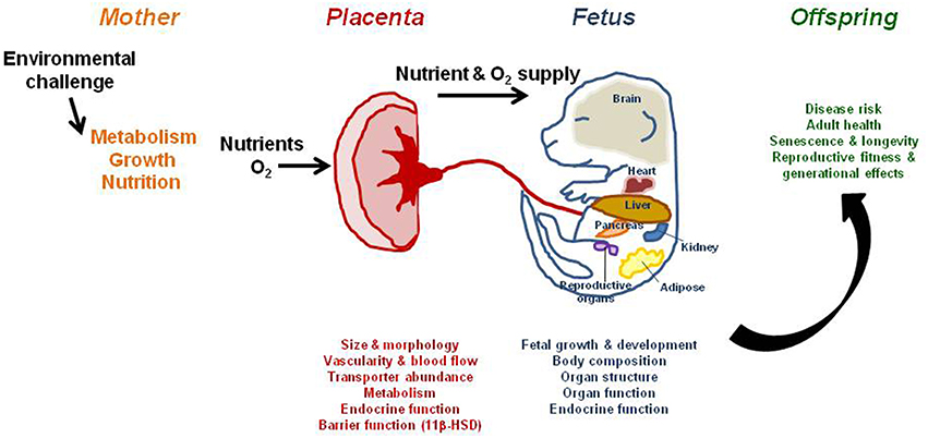 structure and function of placenta