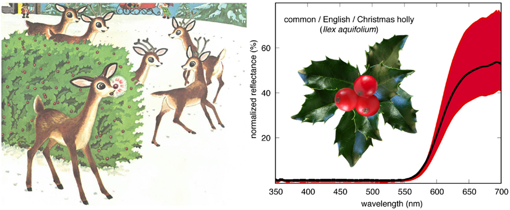 Figure 2 - A later version of Rudolph the Red-Nosed Reindeer [10] discussed the similar color of ripe holly berries and Rudolph's nose.