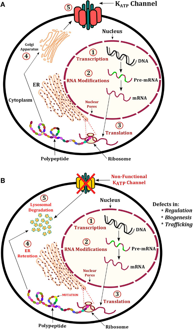 Frontiers | Hyperinsulinemic Hypoglycemia – The Molecular