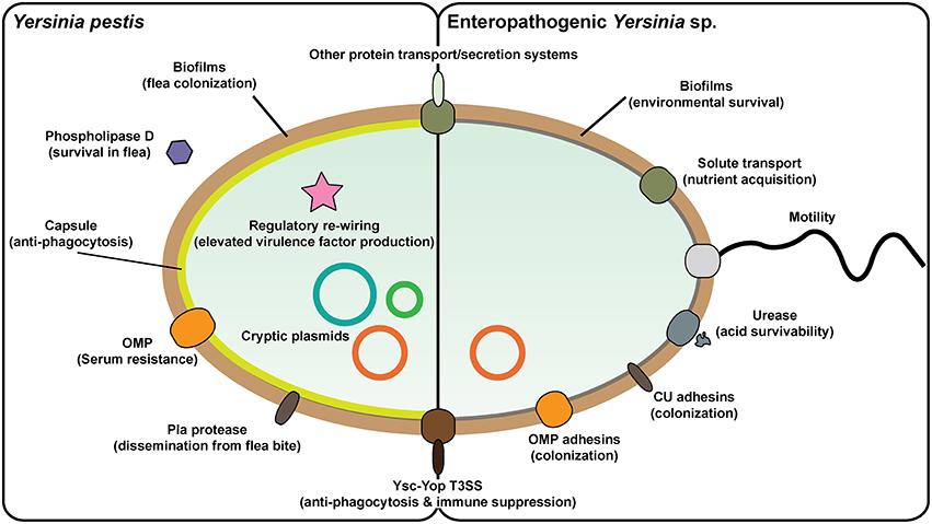 Yersinia toxinok - Veszélyzóna - Nébih