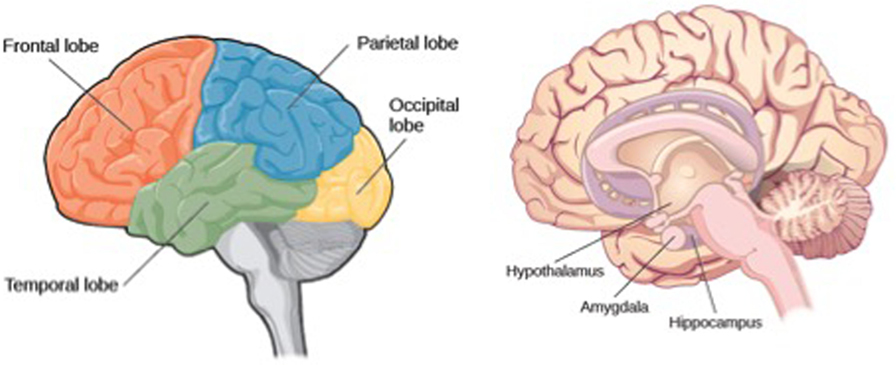 Figure 1 - Overview of important regions in the brain.