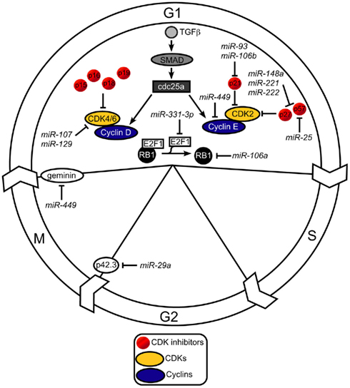 mitosis diagram g1 phase diagram: the role of micrornas in helicobacter  pylori