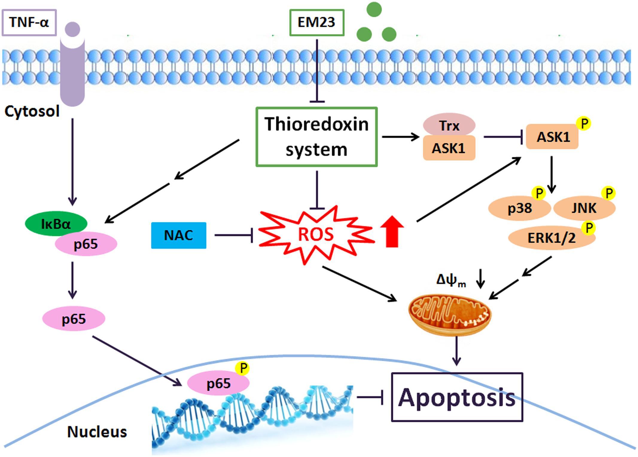 Inhibitors of apoptosis essay