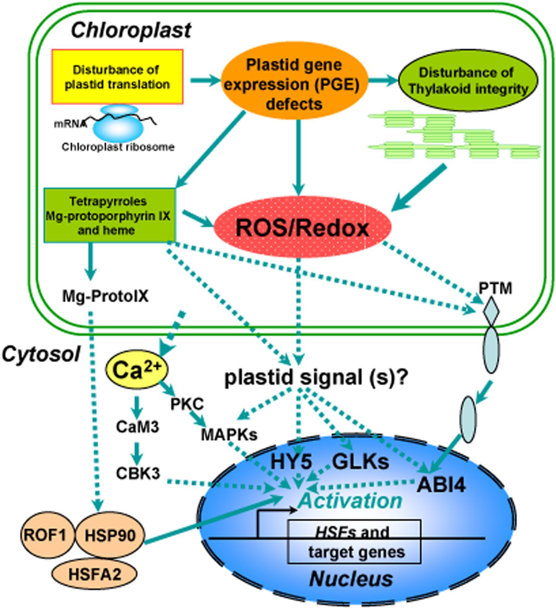 Frontiers chloroplast retrograde regulation of heat stress frontiersin ccuart Gallery