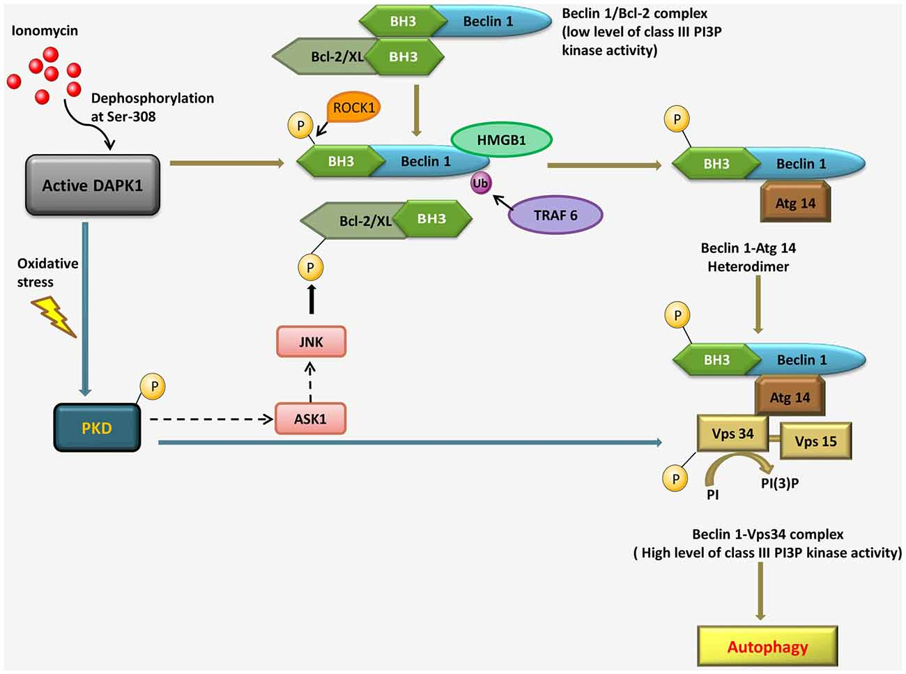 Pathological roles of MAPK signaling pathways in human ...
