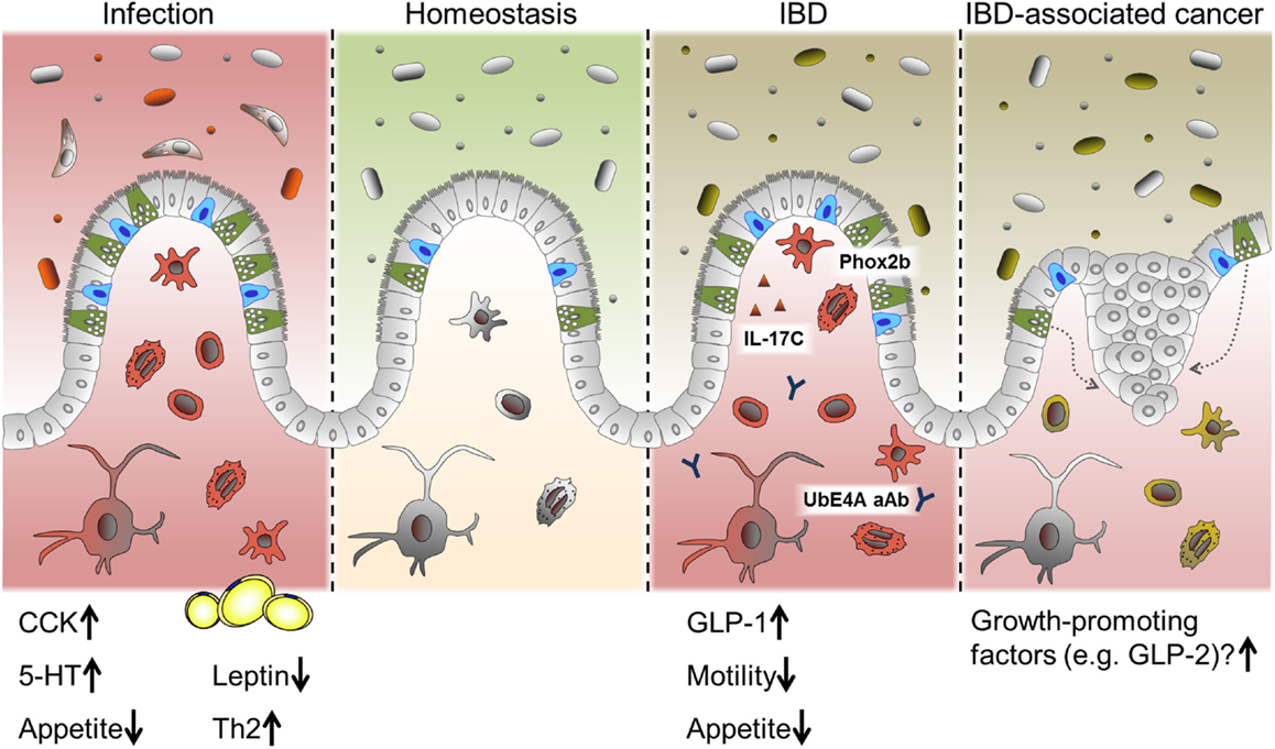 Microbiota metabolite short chain fatty acids, GPCR, and inflammatory bowel diseases