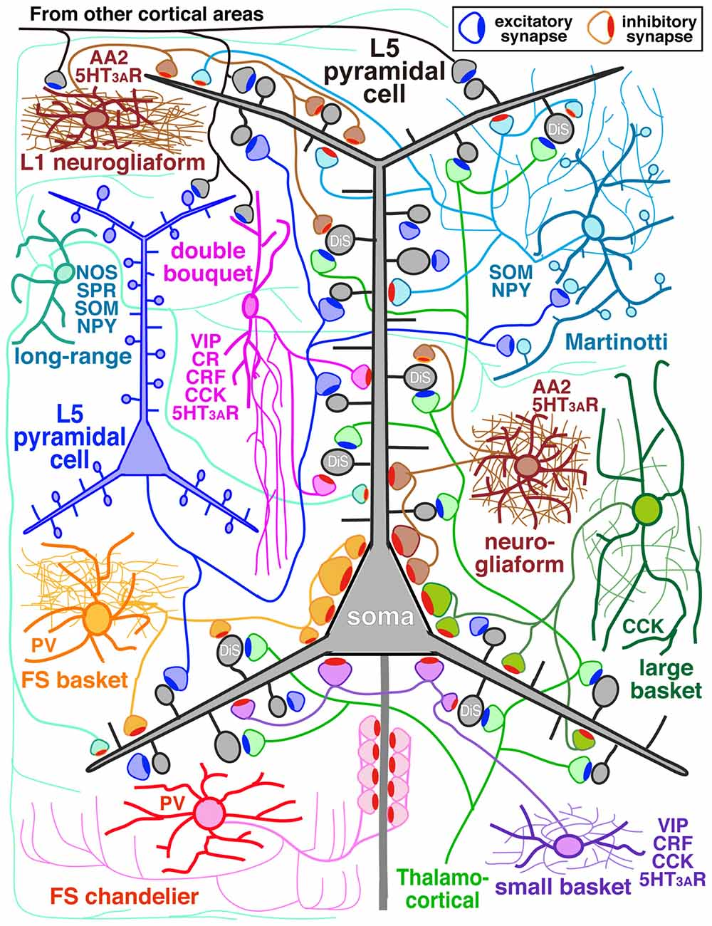 Frontiers | The Diversity of Cortical Inhibitory Synapses