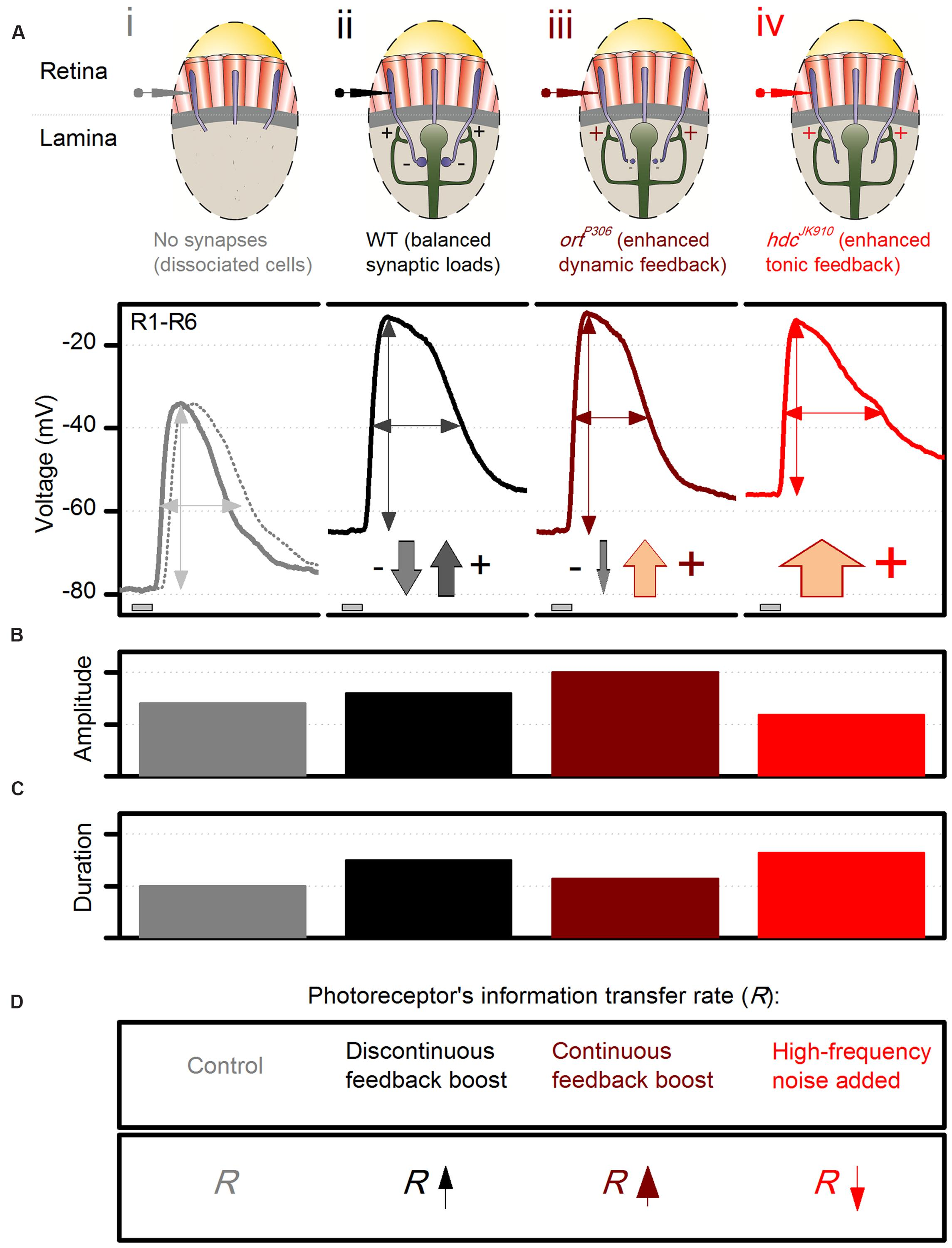 Frontiers Evidence For Dynamic Network Regulation Of Drosophila Automatic Cut Off Staircase Light Circuit Electronic Circuits Free