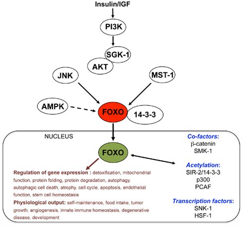 longevity pathways converge on autophagy genes Bmb reports 2017 50(7):  longevity pathways converge on autophagy genes to  promoting basal levels of autophagy in the nervous system enhances longevity and.