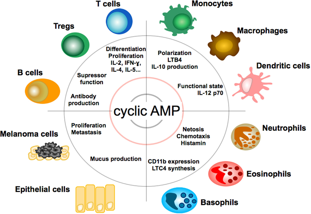Cyclic amp pathway pdf to jpg