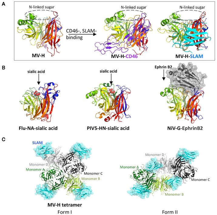 frontiers | measles virus hemagglutinin: structural ...  #15