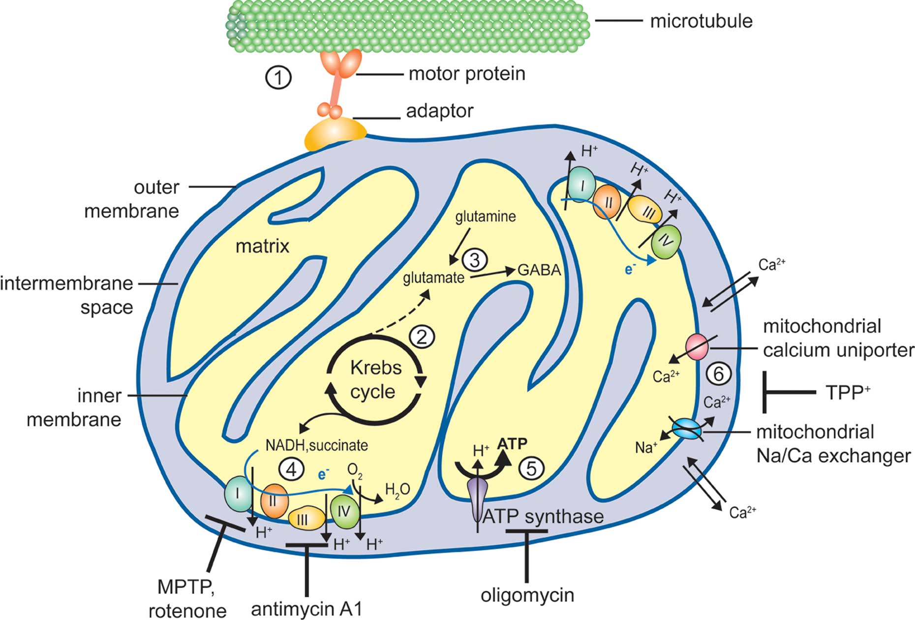 Frontiers | Synaptic Mitochondria in Synaptic Transmission and ...