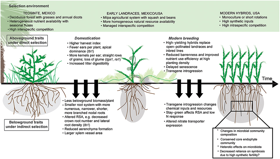 Frontiers Using Ancient Traits To Convert Soil Health Into Crop