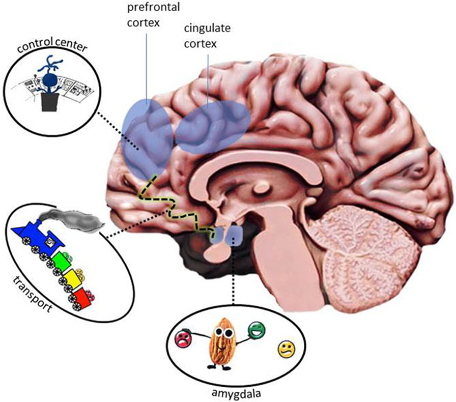 Figure 3 - The emotion processing network includes several areas of the brain.