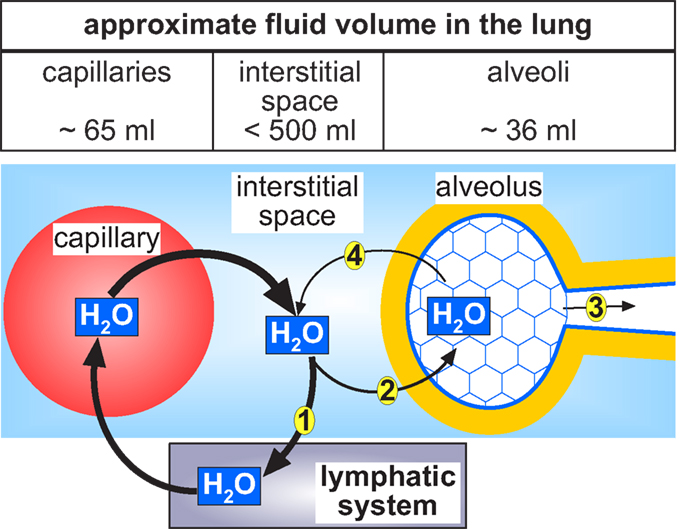 Frontiers Why Do We Have To Move Fluid To Be Able To Breathe