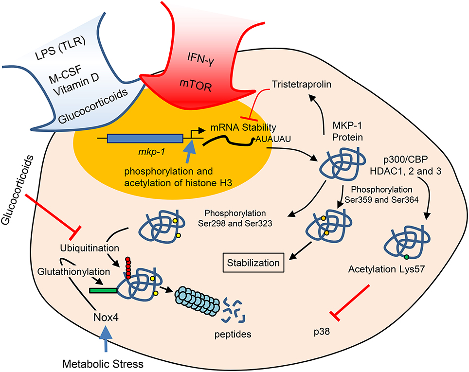 Frontiers | Min-Activated Protein Kinases and Min ... on
