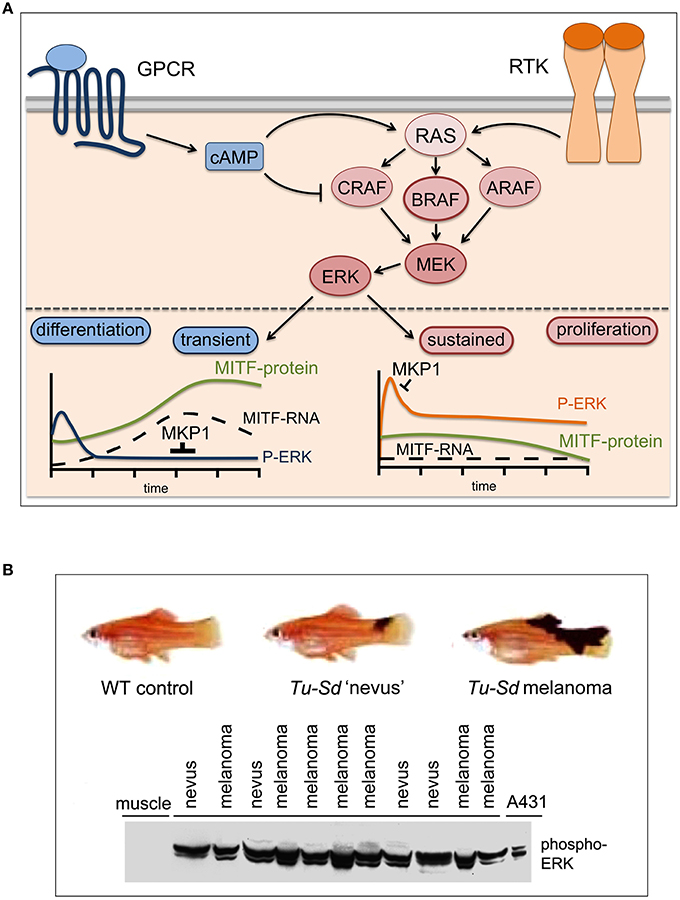 Frontiers | The Complexity of the ERK/MAP-Kinase Pathway and ... on mtor inhibitor, protein kinase inhibitor, pi 3 kinase inhibitor, tyrosine kinase inhibitor, jak kinase inhibitor,