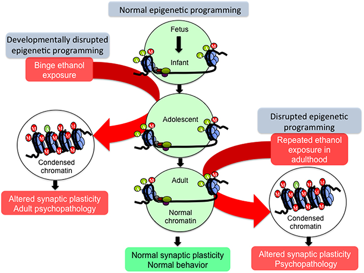 Frontiers | Adolescent Alcohol Exposure: Burden of Epigenetic