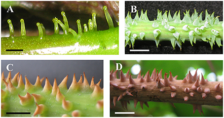 Frontiers | Morphology, Structure, and Ontogeny of Trichomes of the