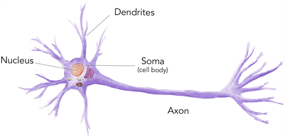 Figure 1 - Neurons are one type of cell and they have a variety of organelles inside them, each with a very important function.