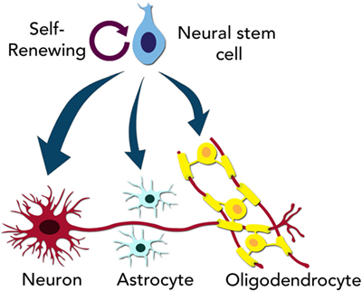 "Figure 2 - Neural stem cells are capable of ""self-renewing."""