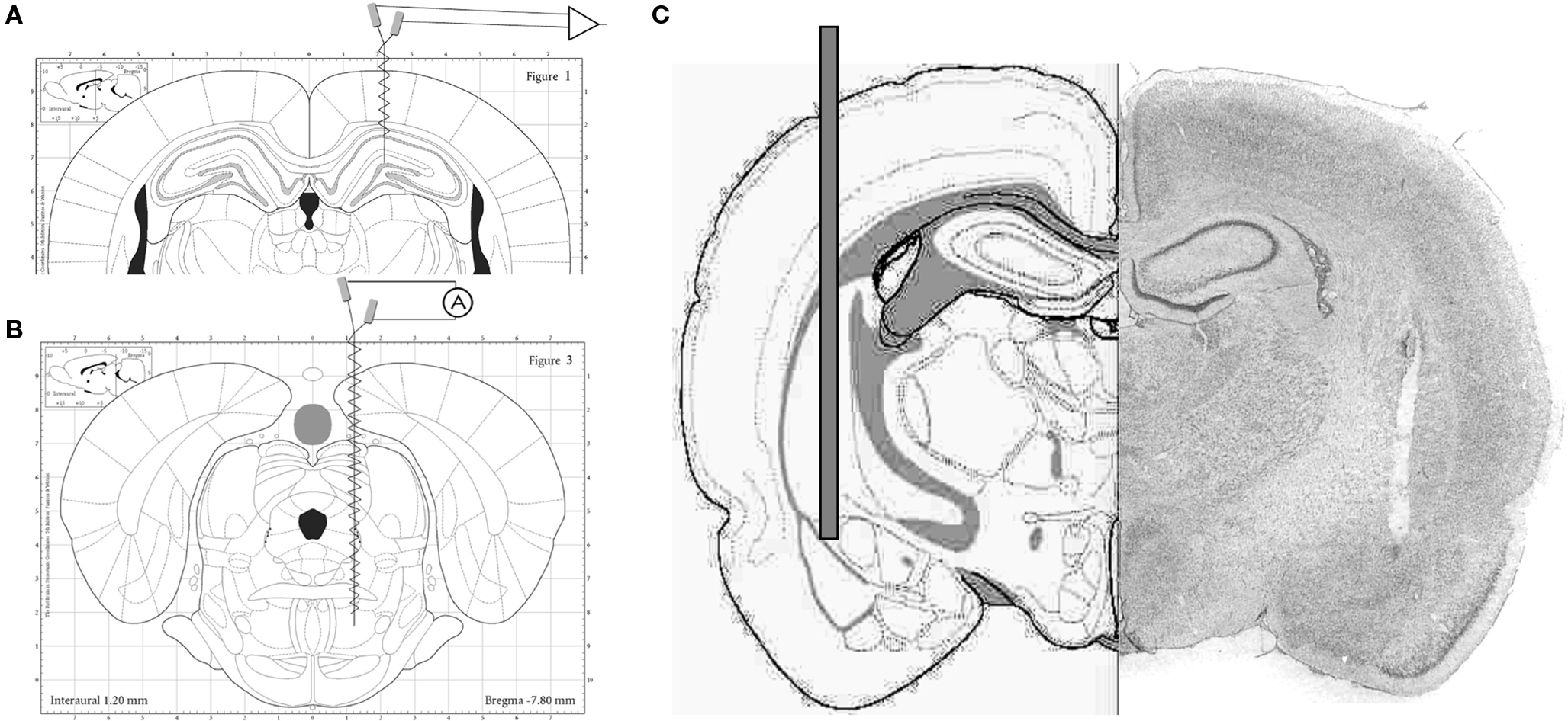Frontiers | Hippocampal Oscillations in the Rodent Model of ...
