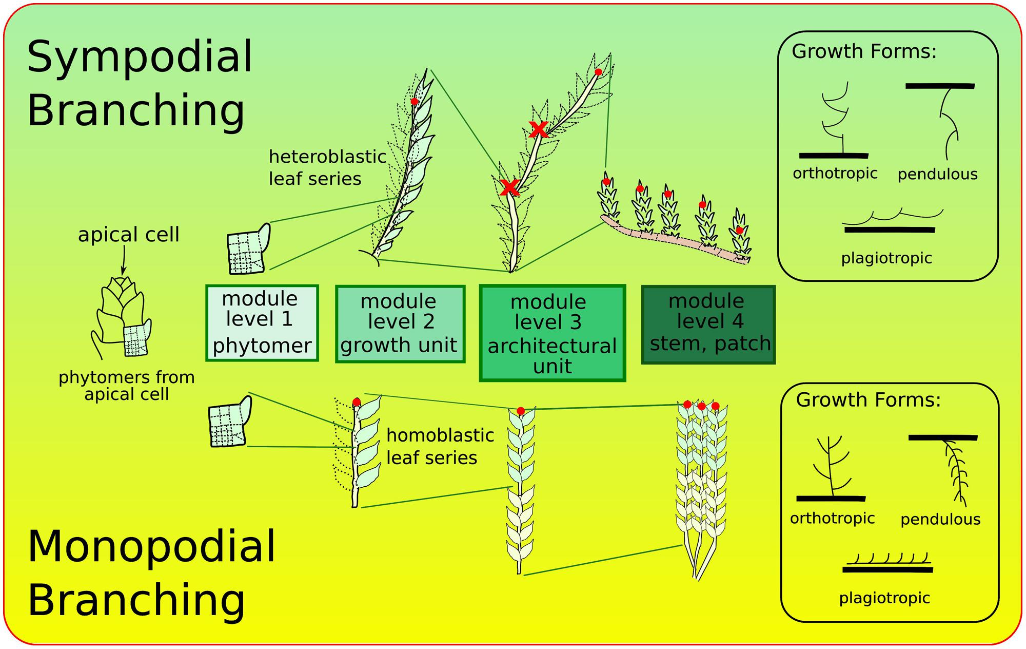 Frontiers morphogeometric approaches to non vascular plants frontiersin pooptronica