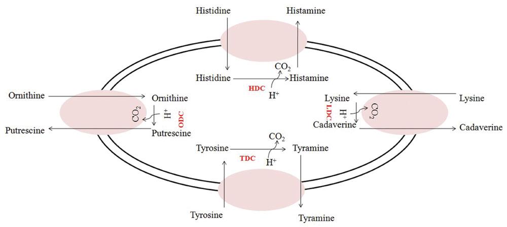 Biogenic Amine Food List