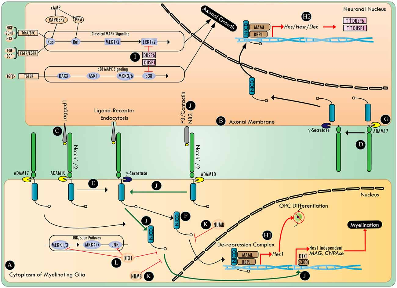 Frontiers | Regulating Axonal Responses to Injury: The