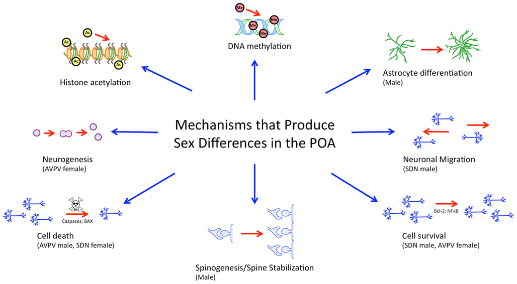 Sexual differentiation of brain and behavior in birds