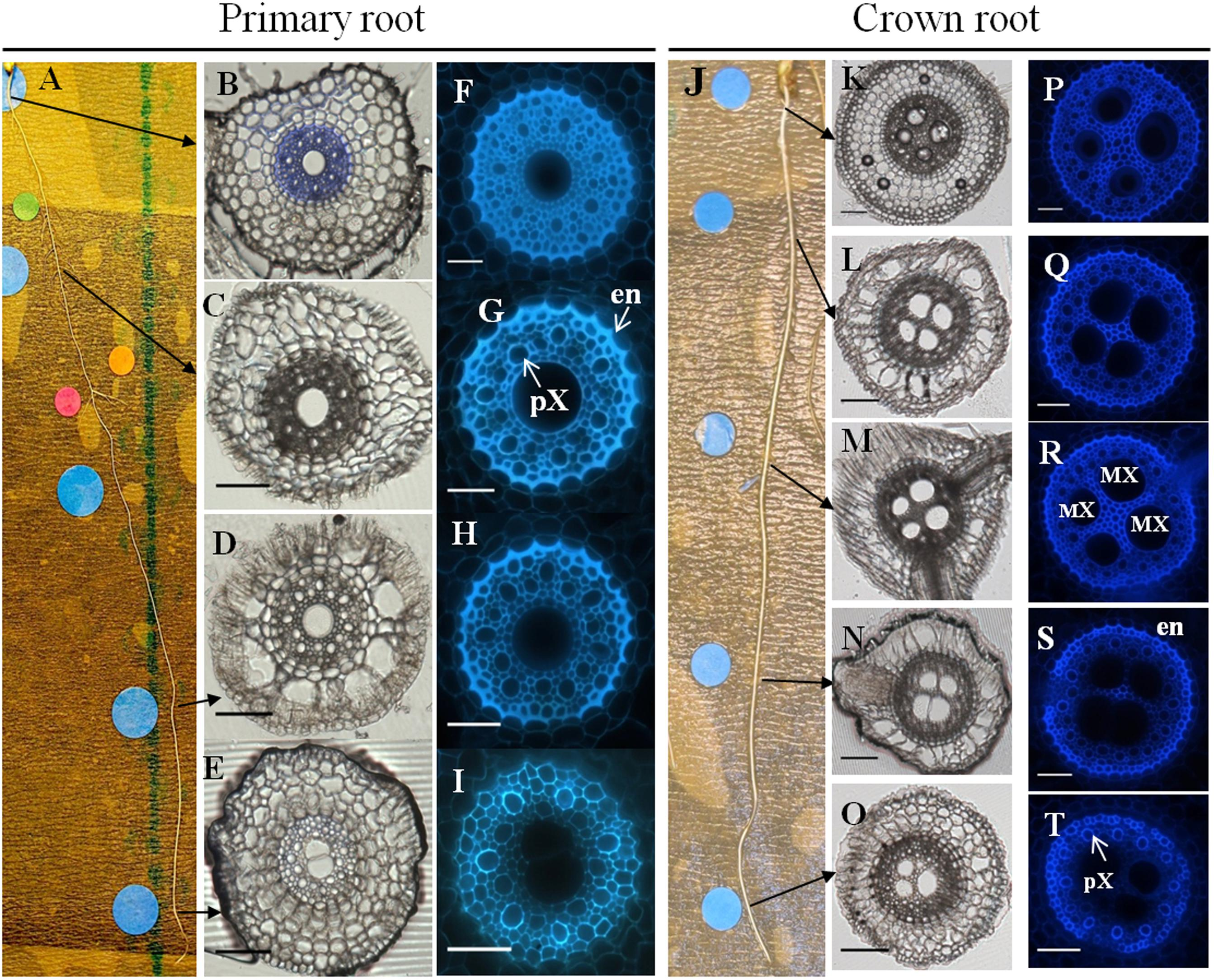 Frontiers | Characterization of Pearl Millet Root ...