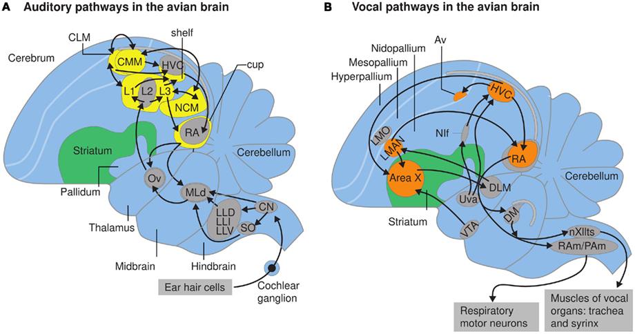 Realm Of Memories Bird Brained: A Bird's Eye View Of Human Language Evolution
