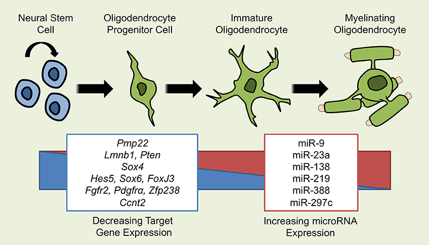 attempts to mobilize oligodendrocyte progenitors A progenitor cell is a biological cell that, like a stem cell, has a tendency to differentiate into a specific type of cell, but is already more specific than a stem cell and is pushed to differentiate into its target cell the most important difference between stem cells and progenitor cells is that stem cells can replicate indefinitely.