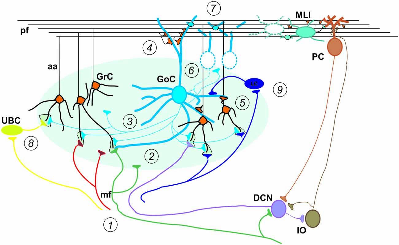 Frontiers | Modeling the Cerebellar Microcircuit: New