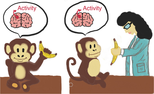 Figure 2 - An illustration of the monkey mirror neuron experiment.