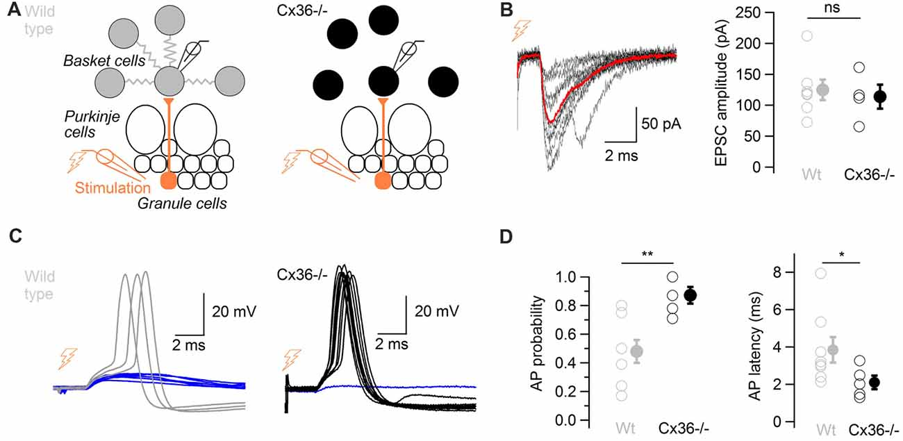 Frontiers Electrical Synapses Enhance And Accelerate Interneuron Ac Fan Speed Control All About Circuits Forum