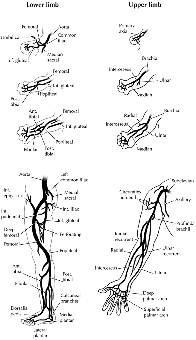 Frontiers | Evolution of Serial Patterns in the Vertebrate ...