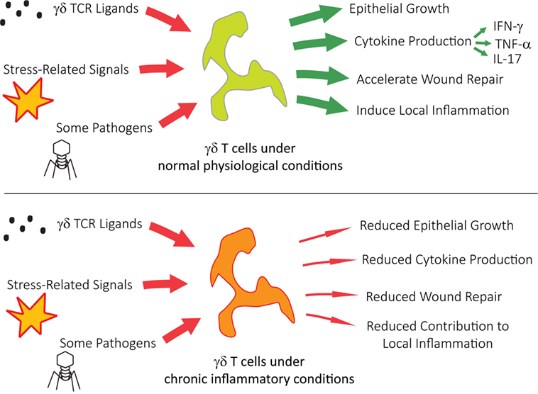 Frontiers | Chronic Inflammation and γδ T Cells | Immunology