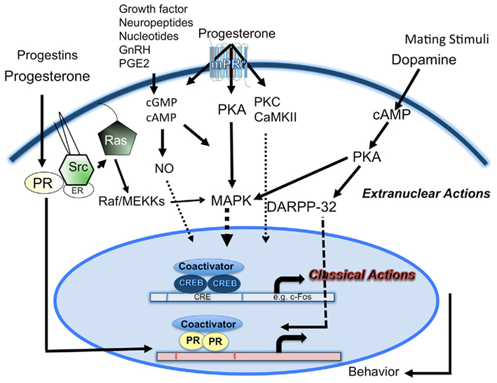steroid hormones in the human body