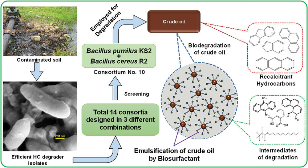 Hydrocarbon‐degrading bacteria: the oil‐spill clean‐up crew